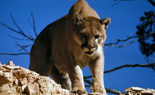 24c4a3ac8 A Mountain Lion Mauled A Trail Runner. The Man Fought Back And Killed It