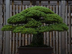 400-Year-Old Bonsai Stolen. Owner Posts Care Instructions On Facebook
