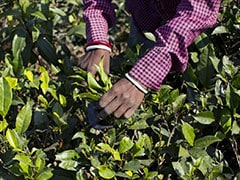 All In The Leaves: Indian Tea Sales To Wilt As Kenyan Crop Jumps