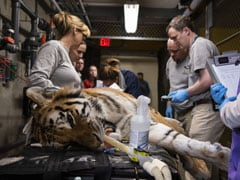 How Do You Give A Tiger A Root Canal? With Knockout Gas, And Great Care