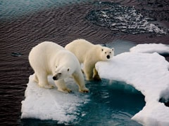 "Russian Arctic Islands Sound Emergency Over ""Invasion"" By Polar Bears"