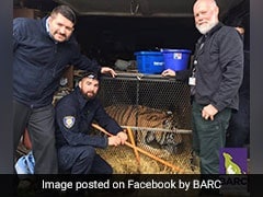 They Were Looking For A Place To Smoke Weed, Found Overweight Tiger Instead