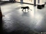 Video : Panic After Panther Seen At Shopping Mall, Hotel Basement In Thane