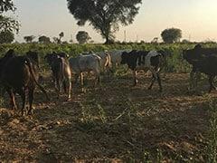 यूपी में गोशालाओं के नाम पर सिर्फ 'हवाबाजी', कहीं दलदल तो कहीं भूख से मर रही हैं गायें, अब तक 36 की मौत