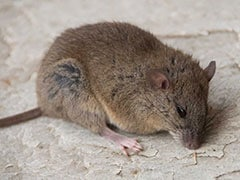 This Australian Rodent Is First Mammal Made Extinct By Climate Change