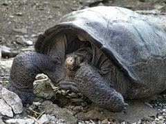 Giant Tortoise, Thought To Be Extinct, Found After 100 Years