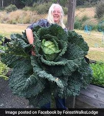 Australian Woman Grows Giant Cabbage, Is As Big As A Person