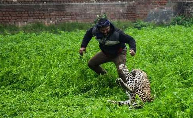 Leopard Creates Panic In Jalandhar, Caught After Over 6 Hours