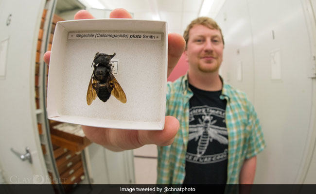 'Flying Bulldog', World's Largest Bee, Found Again After Around 40 Years