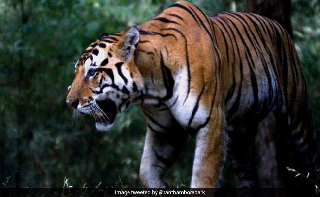Tiger Kills Woman, Villagers Find Her Body In Three Parts In Rajasthan