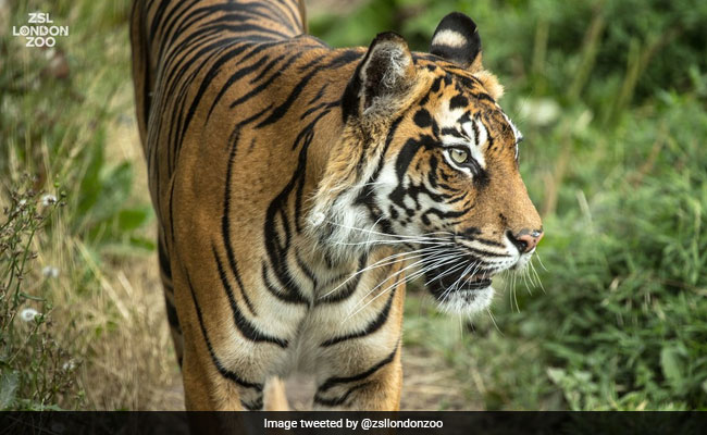 Rare Tiger's First Meet With 'Mate' Ends In A 'Heartbreaking' Tale