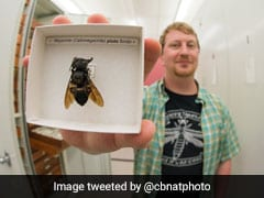 """Flying Bulldog"", World's Largest Bee, Found Again After Around 40 Years"