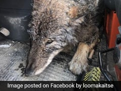 Construction Workers Rescue 'Dog' From Icy River. It Turns Out To Be A Wolf