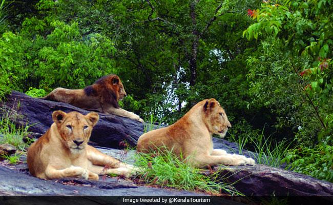 19-Year-Old Ailing Lioness Dies At Kerala Safari Park
