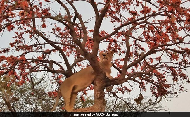 Striking Pic Of Gir Lion, Shared By PM Modi, Creates Stir Online