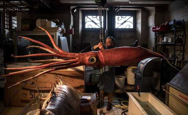 Giant Squid Gets Makeover Before Exhibition In Paris Museum