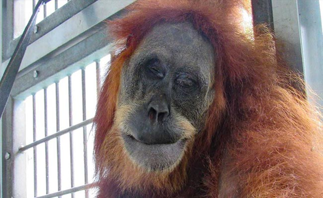 Orangutan Shot With 74 Airgun Pellets In Indonesia Recovers