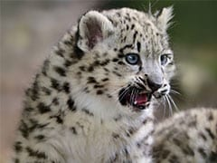 2 Leopard Cubs Rescued From Pune's Sugarcane Fields