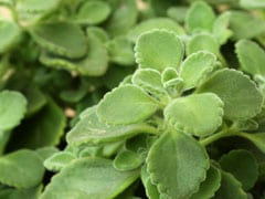 Ajwain Leaves: Try This Powerful Home Remedy For Gas And Bloating