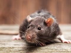 चूहे ने चुराया हीरा, CCTV फुटेज देख मालिक बोला- भगवान गणेश अपनी मां के लिए तोहफा ले गए