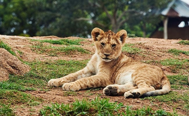 Gujarat Gifts 7 Lions to Etawah Safari Park In Uttar Pradesh