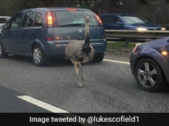 Escaped Ostrich Runs Loose, Causes Chaos During Rush Hour Traffic