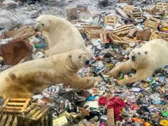 Polar Bears Feast On Food Waste In Russia's Arctic. Photos Are Viral