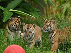 Rare Sumatran Tiger Cubs Make Public Debut At Sydney Zoo