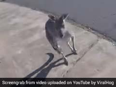 कंगारू ने शख्स पर बरसाए मुक्के, पैराग्लाइडर से उतर गया था उनके इलाके में, देखें VIDEO