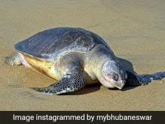 Over Four Lakh Endangered Turtles Spotted At Odisha Beach