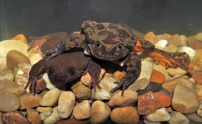 'Unfroggetable': Endangered Frogs Get Long-Awaited First Date