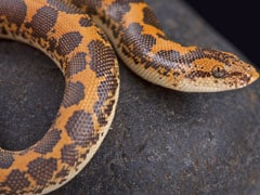 2 Arrested With Sand Boa Snakes Worth Rs 1.5 Crore In Maharashtra