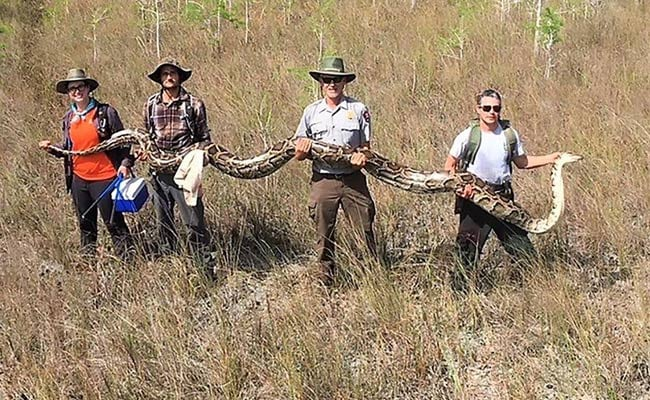 US Researchers Capture 17-Foot-Long Python Using Tracking Devices