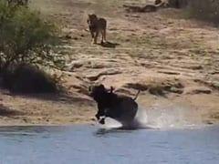 शेर, भैंसा और मगरमच्छ के बीच हुई खूनी जंग, VIDEO में देखें क्या हुआ आखिर में...