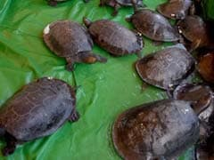 Cambodia Releases Critically Endangered Royal Turtles Into River