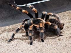 Philippine Officers Find 757 Tarantulas Crammed In Gift Wrapped Package