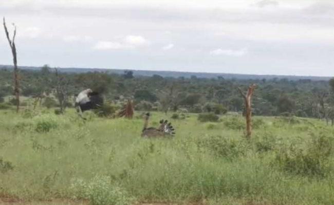 Secretary And Kori Bustard Birds Brawl In Incredible Video