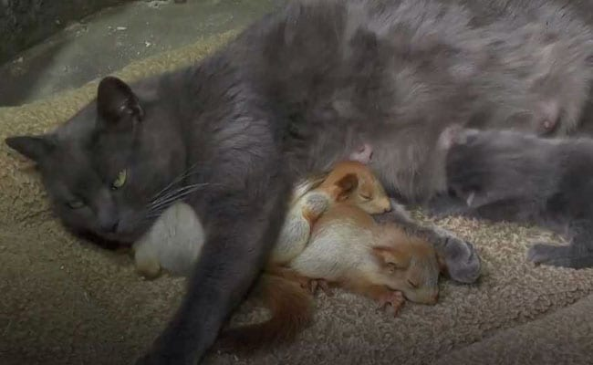 Cuteness Alert: Cat Adopts Orphaned Baby Squirrels In Aww-Dorable Video