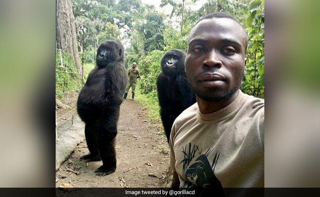 Why 2 Orphaned Gorillas Stood Tall Like Humans In A Park Ranger's Selfie