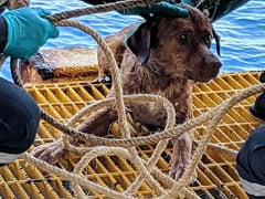 Watch: Dog Found Swimming 220 Kms Off Thai Coast, Rescued By Oil Rig Workers