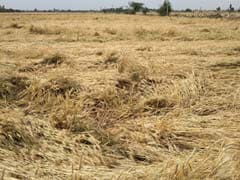 Unseasonal Rains, Storm Damage Wheat Crop In Punjab, Haryana