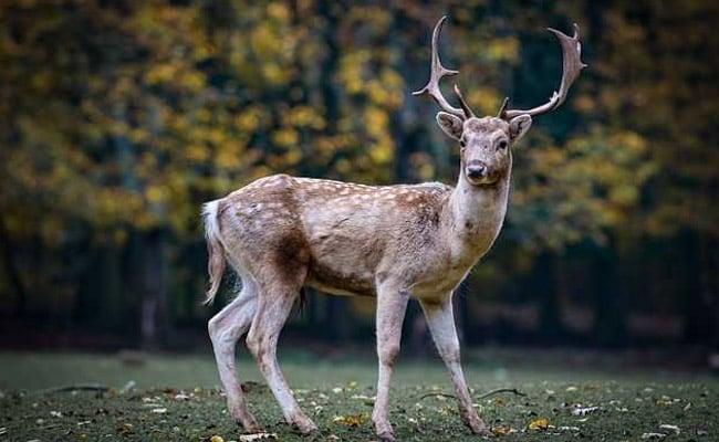 Pet Deer Kills Man, Injures Woman In Australia