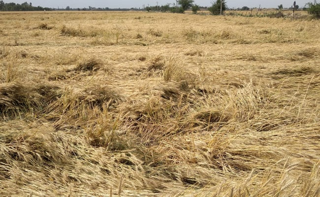 Unseasonal Rains, Storm Damage Wheat Crop In Punjab, Haryana