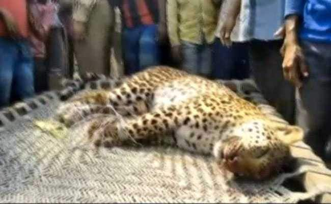 Leopard Dies After Being Beaten With Sticks By Angry Villagers In UP