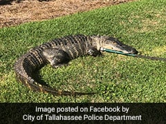"""""""Very Surreal"""": Residents Stunned By 8-Foot Alligator In Neighbourhood"""