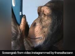Chimpanzee Goes Viral For Using Instagram Like A Pro, Video Stuns People