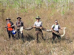 17-Foot-Long Female Python, Longer Than One-Story Building, Caught In US
