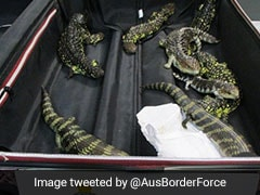 Japanese Woman Arrested For Smuggling 19 Lizards In Australia