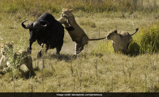 Buffalo Fights Lions, Crocodiles In Viral Video. Watch How It Ends