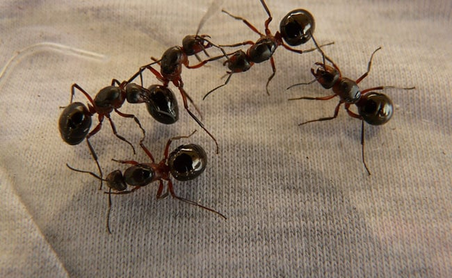 1,000 Live Ants Seized From Mail Parcel